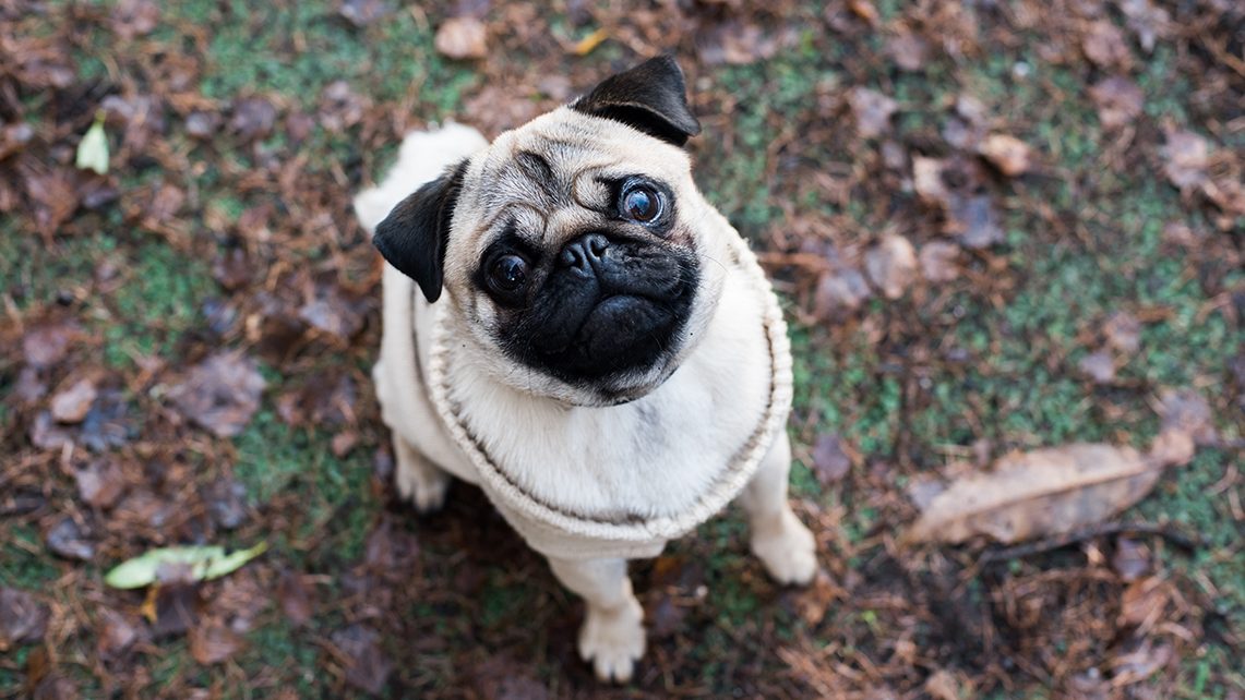 Pug in a jumper